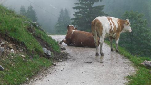 Kühe auf dem Weg, kurz vor der Königsbachalm